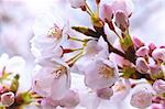 Cherry blossoms Stock Photo - Premium Royalty-Free, Artist: Aurora Photos, Code: 622-06487425