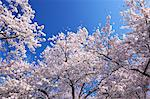Cherry blossoms and blue sky Stock Photo - Premium Royalty-Free, Artist: Aurora Photos, Code: 622-06487431