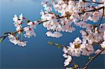 Cherry blossoms and blue sky Stock Photo - Premium Royalty-Free, Artist: AWL Images, Code: 622-06487435