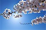 Cherry blossoms and blue sky Stock Photo - Premium Royalty-Free, Artist: Aurora Photos, Code: 622-06487437