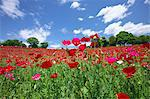 Poppy flowers, Tokyo Prefecture Stock Photo - Premium Royalty-Free, Artist: Robert Harding Images, Code: 622-06487455