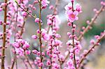 Plum flowers Stock Photo - Premium Royalty-Free, Artist: Aurora Photos, Code: 622-06487581