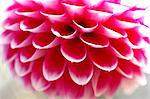 Dahlia Stock Photo - Premium Royalty-Free, Artist: JTB Photo, Code: 622-06487662