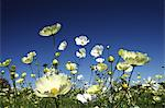 Cosmos flowers and blue sky Stock Photo - Premium Royalty-Free, Artist: JTB Photo, Code: 622-06487719