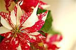 Poinsettia Stock Photo - Premium Royalty-Free, Artist: Aflo Relax               , Code: 622-06487731