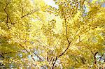 Yellow leaves Stock Photo - Premium Royalty-Free, Artist: Cusp and Flirt, Code: 622-06487738