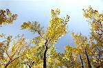 Autumn leaves and blue sky Stock Photo - Premium Royalty-Free, Artist: Cusp and Flirt, Code: 622-06487739