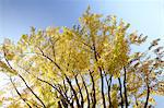 Autumn leaves and blue sky Stock Photo - Premium Royalty-Free, Artist: Cusp and Flirt, Code: 622-06487740