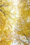 Yellow leaves Stock Photo - Premium Royalty-Free, Artist: Cusp and Flirt, Code: 622-06487744
