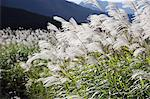 Japanese silver grass Stock Photo - Premium Royalty-Free, Artist: Robert Harding Images, Code: 622-06487845