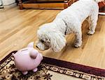 Dog examining piggy bank in living room Stock Photo - Premium Royalty-Freenull, Code: 649-06488961