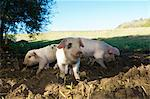 Pigs rooting in dirt field Stock Photo - Premium Royalty-Free, Artist: Minden Pictures, Code: 649-06489127
