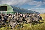 Turkeys on free range farm Stock Photo - Premium Royalty-Free, Artist: Westend61, Code: 649-06489519