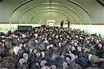 Farmers and turkeys in barn Stock Photo - Premium Royalty-Free, Artist: Westend61, Code: 649-06489522