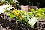 Vegetable patch with growing yellow courgette Stock Photo - Premium Rights-Managed, Artist: foodanddrinkphotos, Code: 824-06490556