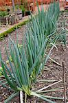 Onions Growing in a Kitchen Garden Stock Photo - Premium Rights-Managed, Artist: foodanddrinkphotos, Code: 824-06492187
