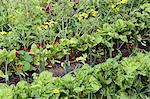 Vegetables growing in an allotment Stock Photo - Premium Rights-Managed, Artist: foodanddrinkphotos, Code: 824-06493471