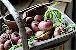 Radish in a trug Stock Photo - Premium Rights-Managed, Artist: foodanddrinkphotos, Code: 824-06493477