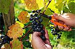 Blaufränkisch grapes being cut from the vine with shears