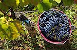 Grape harvesting in Burgenland: A bucket of Blaufrnkisch grapes Stock Photo - Premium Royalty-Freenull, Code: 659-06493734