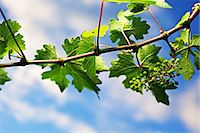 A vine in spring Stock Photo - Premium Royalty-Freenull, Code: 659-06493742