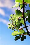 A vine in spring Stock Photo - Premium Royalty-Free, Artist: Aflo Relax, Code: 659-06493743