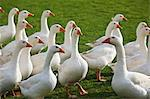Free-range geese on an organic farm Stock Photo - Premium Royalty-Free, Artist: R. Ian Lloyd, Code: 659-06495567