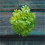 Woodruff Stock Photo - Premium Royalty-Free, Artist: photo division, Code: 659-06495773