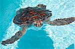 Green sea turtle. Stock Photo - Premium Royalty-Free, Artist: Allan Baxter, Code: 6106-06496575
