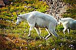 Two mountain goats in Glacier National Park Stock Photo - Premium Royalty-Free, Artist: Frank Krahmer, Code: 6106-06497551