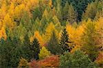 Variety of coniferous tree colours in autumn, Lake District National Park, Cumbria, England, United Kingdom, Europe Stock Photo - Premium Rights-Managed, Artist: Robert Harding Images, Code: 841-06499283
