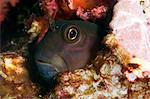 Yellow tailed blenny (Ecsenius namiyei), Komodo, Indonesia, Southeast Asia, Asia Stock Photo - Premium Rights-Managed, Artist: Robert Harding Images, Code: 841-06499325