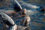 Sea lions, Anacapa, Channel Islands National Park, California, United States of America, North America Stock Photo - Premium Rights-Managed, Artist: Robert Harding Images, Code: 841-06499346