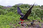 Adult male great frigatebirds (Fregata minor), Genovesa Island, Galapagos Islands, UNESCO World Heritage Site, Ecuador, South America Stock Photo - Premium Rights-Managed, Artist: Robert Harding Images, Code: 841-06499403