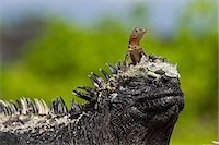 Lava lizard (Microlophus spp,) on top of marine iguana (Amblyrhynchus cristatus), Las Bachas, Santa Cruz Island, Galapagos Islands, Ecuador, South America Stock Photo - Premium Rights-Managednull, Code: 841-06499427