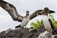 Nazca booby (Sula grantii) chick, Punta Suarez, Santiago Island, Galapagos Islands, Ecuador, South America Stock Photo - Premium Rights-Managednull, Code: 841-06499451