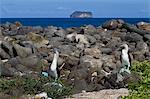 Blue-footed booby (Sula nebouxii) pair, North Seymour Island, Galapagos Islands, UNESCO World Heritage Site, Ecuador, South America Stock Photo - Premium Rights-Managed, Artist: Robert Harding Images, Code: 841-06499469