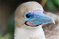 Adult dark morph red-footed booby (Sula sula), Genovesa Island, Galapagos Islands, Ecuador, South America Stock Photo - Premium Rights-Managednull, Code: 841-06499475