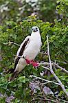 Adult white morph red-footed booby (Sula sula), Genovesa Island, Galapagos Islands, Ecuador, South America Stock Photo - Premium Rights-Managed, Artist: Robert Harding Images, Code: 841-06499481