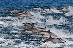 Long-beaked common dolphin (Delphinus capensis) pod, Isla San Esteban, Gulf of California (Sea of Cortez), Baja California, Mexico, North America Stock Photo - Premium Rights-Managed, Artist: Robert Harding Images, Code: 841-06499529
