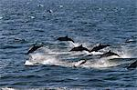 Long-beaked common dolphins (Delphinus capensis), Isla San Esteban, Gulf of California (Sea of Cortez), Baja California, Mexico, North America Stock Photo - Premium Rights-Managed, Artist: Robert Harding Images, Code: 841-06499535