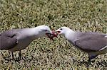 Heermann's gull (Larus heermanni) male feeding female, Isla Rasa, Gulf of California (Sea of Cortez), Mexico, North America Stock Photo - Premium Rights-Managed, Artist: Robert Harding Images, Code: 841-06499571