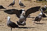 Heermann's gulls (Larus heermanni) mating, Isla Rasa, Gulf of California (Sea of Cortez), Mexico, North America Stock Photo - Premium Rights-Managed, Artist: Robert Harding Images, Code: 841-06499575