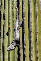 San Esteban spiny-tailed iguana (Ctenosaura conspicuosa) on cardon cactus, Isla San Esteban, Gulf of California (Sea of Cortez), Baja California, Mexico, North America Stock Photo - Premium Rights-Managednull, Code: 841-06499604