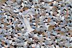 Elegant tern (Thalasseus elegans) breeding colony, Isla Rasa, Gulf of California (Sea of Cortez), Baja California, Mexico, North America Stock Photo - Premium Rights-Managed, Artist: Robert Harding Images, Code: 841-06499665