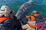 California gray whale (Eschrichtius robustus) and excited whale watchers, San Ignacio Lagoon, Baja California Sur, Mexico, North America Stock Photo - Premium Rights-Managed, Artist: Robert Harding Images, Code: 841-06499667