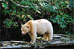 Spirit bear (Kermode bear), Great Bear Rainforest, British Columbia, Canada, North America Stock Photo - Premium Rights-Managed, Artist: Robert Harding Images, Code: 841-06499730