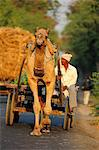 Camel cart on the road in Gujarat, India, Asia Stock Photo - Premium Rights-Managed, Artist: Robert Harding Images, Code: 841-06499779