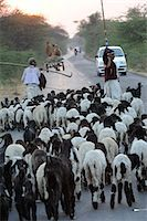 Shepherd herding his sheep, Gujarat, India, Asia Stock Photo - Premium Rights-Managed, Artist: Robert Harding Images, Code: 841-06499781