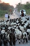 Shepherd herding his sheep, Gujarat, India, Asia Stock Photo - Premium Rights-Managed, Artist: Robert Harding Images, Code: 841-06499781
